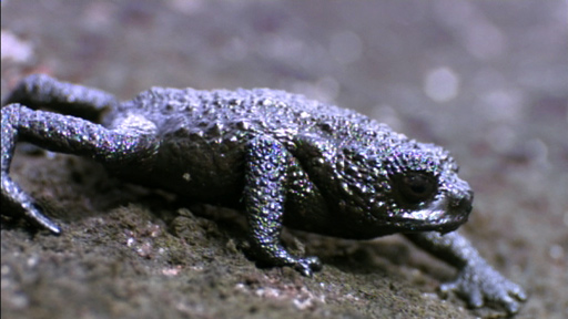 Pebble toad