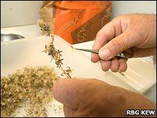 Seed cleaning (RBG Kew)