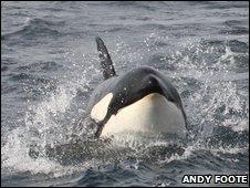 Un groupe de 50 orques au large de l'Ecosse _46552642_img_4788-andy-foote