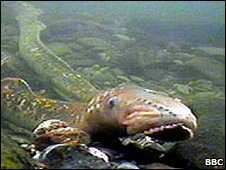 A lamprey swimming