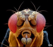 Fruit fly head (SPL)