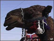 Arabian camel (file photo)