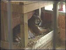 Tiger at Noah's Ark Zoo