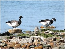 Strangford Lough is home to Brent Geese from Canada