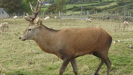 The stag which attacked Tom Morgan.