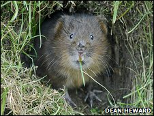 Water vole - Dean Heward