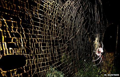 Orb-weaviing spider Nephila inaurata