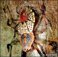 Orb-weaviing spiders <i>Nephila komaci</i>