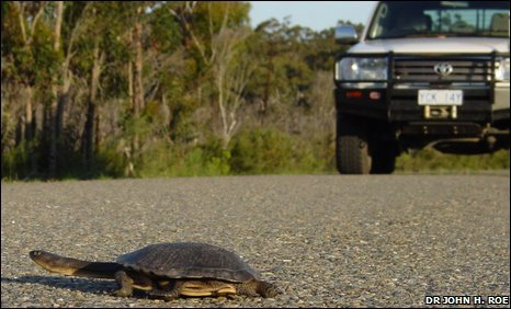 Eastern long necked turtle crossing the road