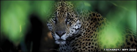 The look of a jaguar (Tom Schandy)