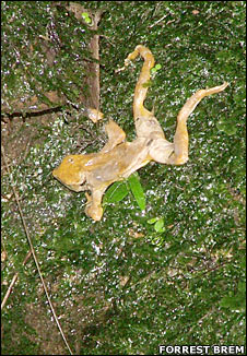 Dead Atelopus frog
