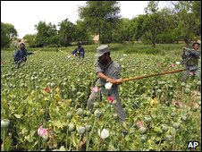 Afghan police men destroying opium poppies in a field during poppy eradication operations in Tarin Kowt, Urugzan, Afghanistan (Archive)