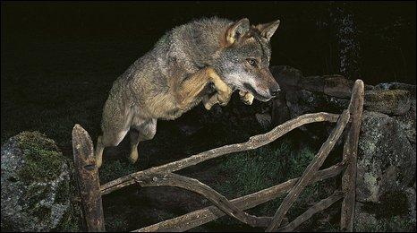 Storybook wolf (Jose Luis Rodruiguez)