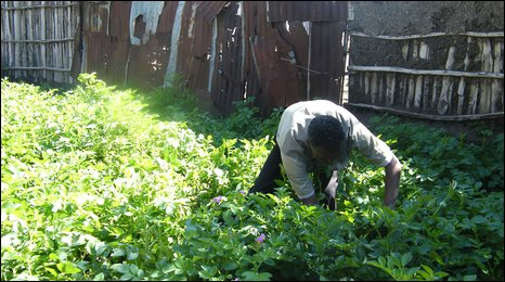 Mesele Adhena working hard tending his crops in Korem