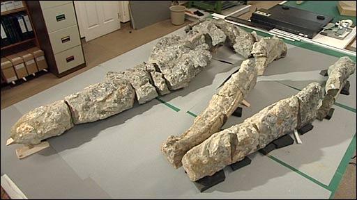 Pliosaur fossilised skull
