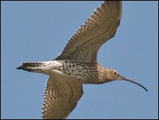 Curlew in flight. Copyright Brian Irving