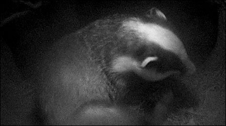 Badger in its sett