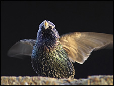 Starling (PA)