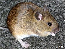 St Kilda field mouse