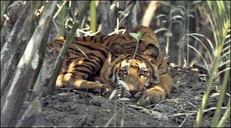 Tiger in Bangladesh
