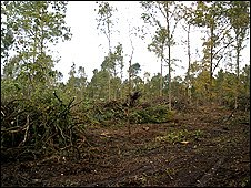 Conifers cleared at Hatfield Forest