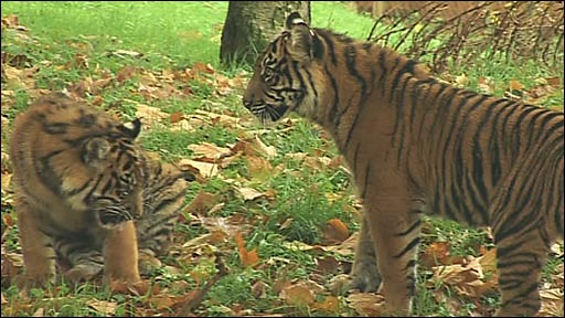 The tiger cubs back in their paddock