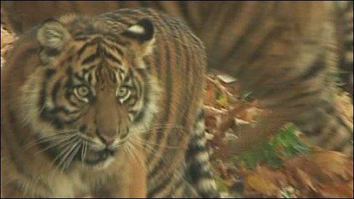 Paignton Zoo tiger cub