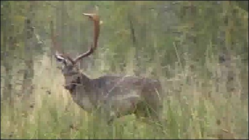 Large stag in the Forest of Dean