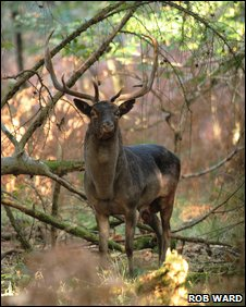 A large stag in the Forest of Dean
