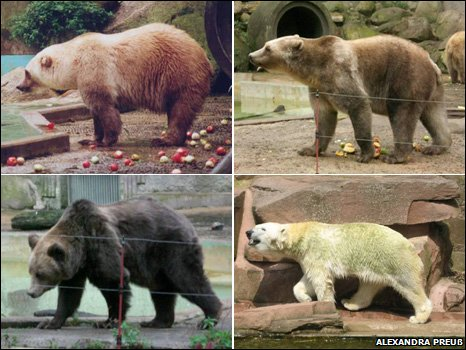 Clockwise: a female hybrid, male hybrid, polar bear and brown bear (all pictures courtesy of Alexandra Preuß)