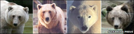 Bear line up (from left to right): Female hybrid, male hybrid, polar bear and brown bear (courtesy of Alexandra Preu�)