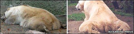 Bears' posture