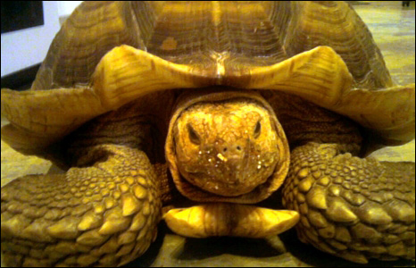 Johnny the giant tortoise