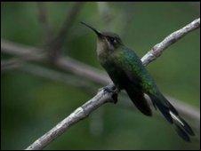 Female marvellous spatule hummingbird (Loddigesia mirabilis)