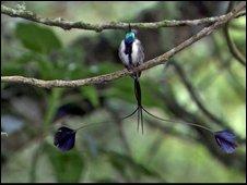 Male marvellous spatule hummingbird (Loddigesia mirabilis)
