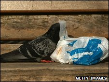 Pigeon with head in plastic bag