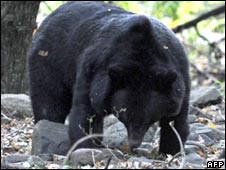 A Himalayan black bear strolls in Dachigam National Park, 25kms from Srinagar, on Oct 16, 2009