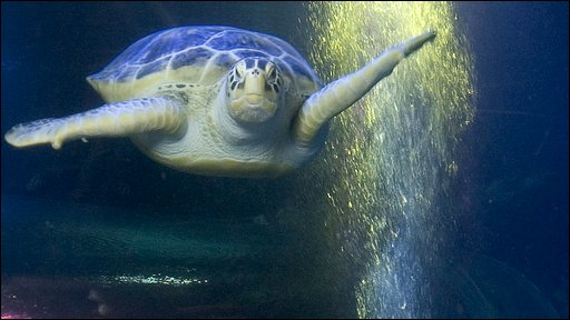A giant sea turtle