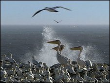 Pelicans and gannets