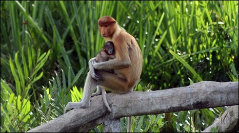 A proboscis moneky cradles its young