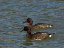 Madagascar pochard pair
