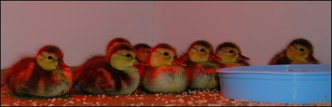 Madagascar pochard ducklings