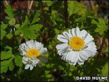 what do feverfew plants look like