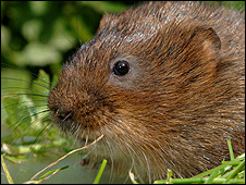 Water vole (Image: British Waterways)
