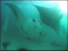 Manta rays gather