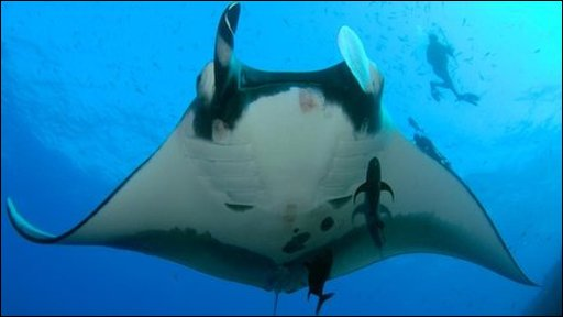 Manta ray and diver