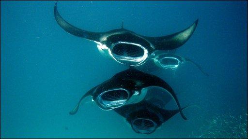 Manta ray chain