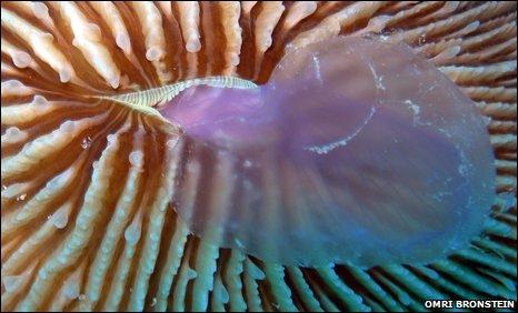 Coral Fungia scruposa