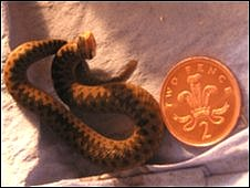 A baby adder next to a two-pence coin