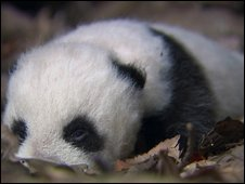 baby panda, filmed in  HD